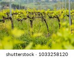 tuscan vineyard farm with... | Shutterstock . vector #1033258120