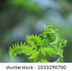Small photo of Fiddle Head Fern Unfolding in Spring