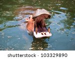 Hippopotamus open its mouth in a pond - stock photo