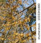 witch hazel  hamamelis x... | Shutterstock . vector #1033341880
