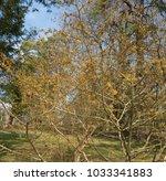witch hazel  hamamelis x... | Shutterstock . vector #1033341883