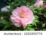 pink peony. peony is an ancient ...   Shutterstock . vector #1033393774