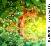beautiful chaenomeles japonica...   Shutterstock . vector #1033413658