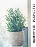 house plant succulent  senecio... | Shutterstock . vector #1033417516