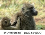 the olive baboon  also called... | Shutterstock . vector #1033534000