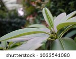 plumeria leaf in the garden ... | Shutterstock . vector #1033541080