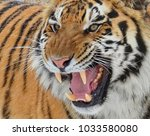 the amur or ussuri tiger  or... | Shutterstock . vector #1033580080