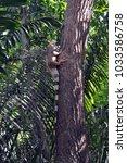 A Large Iguana Climbing A Tree...