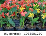 canna lilly flowers in pot at... | Shutterstock . vector #1033601230