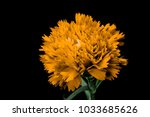 yellow carnation flower... | Shutterstock . vector #1033685626