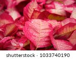 red plant leaf with drops of... | Shutterstock . vector #1033740190