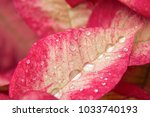 red plant leaf with drops of... | Shutterstock . vector #1033740193