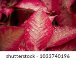 red plant leaf with drops of... | Shutterstock . vector #1033740196