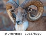 Bighorn Sheep With Massive...
