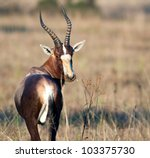 A Male Blesbuck Interrupts His...