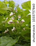 Flowers And Large Leaves Of...