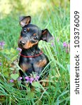 Stock photo the miniature pinscher puppy months old 103376009