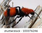 Orange And Black Velvet Ant ...