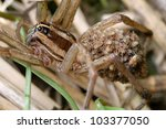 Mother Wolf Spider With Many...