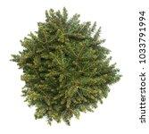 spruce picea omorika karel...   Shutterstock . vector #1033791994