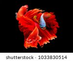 Small photo of group of beautiful Multi color Siamese fighting fish,Betta splendens,Orange ,red,white tone on black background,isolated.