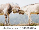 himalayan goats fighting at the ... | Shutterstock . vector #1033839856