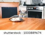 Stock photo cat is looking at food cat watches over the food sly beautiful british gray cat close up cat 1033889674