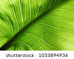 callas leaf structure | Shutterstock . vector #1033894936