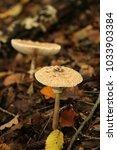 Small photo of Lepiota, mushrooms, Agaricaceae