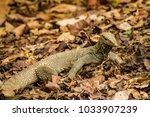 varanus lizard in the... | Shutterstock . vector #1033907239
