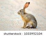 an alert scrub hare  lepus...   Shutterstock . vector #1033952104