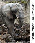 Small photo of Young African bush elephant (Loxodonta africana)