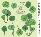 collection of gotu kola  branch ... | Shutterstock .eps vector #1034015179