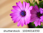 beautiful purple daisies with... | Shutterstock . vector #1034016550