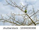 the silk floss tree  ceiba... | Shutterstock . vector #1034030308