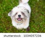 a scruffy shih tzu mixed breed... | Shutterstock . vector #1034057236