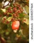 nature detail   ripe red cashew ... | Shutterstock . vector #1034057464