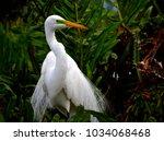 great white egret  ardea alba ...   Shutterstock . vector #1034068468