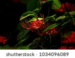 beautiful red spider lily... | Shutterstock . vector #1034096089