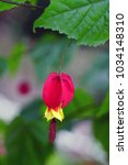 Small photo of Chinese Lantern abutilon red and yellow flower