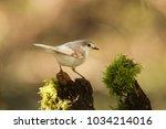 a rare leucistic robin ... | Shutterstock . vector #1034214016