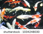 Small photo of Crap, Colored Crap, Nishikigoi, Koi, Cypriniformes, Cyprinidae, Cyprinus, Carpio, Cyprinus carpio Linn.