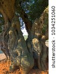 Small photo of Ital, Ostuni, the ancient olive grove in the outskirts of the village