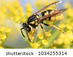 wasp on a yellow flower close... | Shutterstock . vector #1034255314