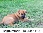 beautiful puppy brown dog... | Shutterstock . vector #1034354110