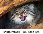 The Pallas's Cat  Otocolobus...