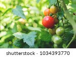 Fresh Ripe Red Tomatoes And Th...