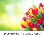 Stock photo bunch of fresh yellow purple and red tulips over garden background with copy space 1034397550