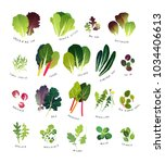 common leafy greens such as... | Shutterstock .eps vector #1034406613