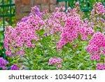 Pink Phlox Flowers Outdoor